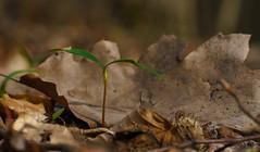 Bald bin ich groß (KaAuenwasser) Tags: ahorn baum keimling klein jung frisch pflanze boden waldboden wald park fasanengarten laub blätter blatt grün keimblätter makro natur neu