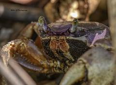 Blue land crab (Mike_FL) Tags: bluelandcrab secretwoodsnaturecenter outdor photograph park nikon nikond7500 nature tamron100400