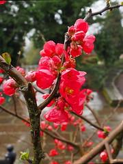 flower rain (oneofmanybills) Tags: flower rain spring darley abbey macro wet red blossom