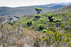 Senecios (Ralph Apeldoorn) Tags: kilimanjaro mountkilimanjaro mountain senecio volcano tanzania tz