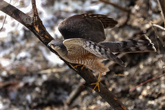 Sharp-shinned Hawk (Accipiter striatus) (stitchersue) Tags: sharpshinnedhawk hawk accipiterstriatus hunting algonquinpark ontario canada