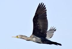 Little Cormorant (rajivarughese) Tags: cormorant nature bird sea nikon d3300