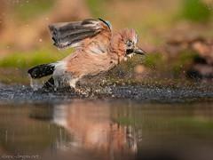 Jaybird / Eichelhäher (eric-d at gmx.net) Tags: jaybird eichelhäher rabenvogel birds garrulus glandarius corvidae