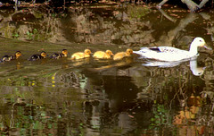 Cute pic of ducklings on the canal at Preston (Tony Worrall) Tags: ducks baby babies swim canal wet water wild wildlife fun cute small reflection wetreflection nice beauty nature natural line preston lancs lancashire city welovethenorth nw northwest north update place location uk england visit area attraction open stream tour country item greatbritain britain english british gb capture buy stock sell sale outside outdoors caught photo shoot shot picture captured ilobsterit instragram photosofpreston ashtononribble ashton