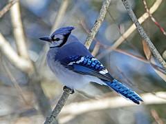 Geai bleu / Blue Jay / Cyanocitta cristata (jeancbenoit51) Tags: geai jay cyanocitta jeancbenoit captourmente