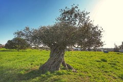 Cyprus Countryside – End of 2018 (32) (Polis Poliviou) Tags: nature green tree wood root agriculture plant outdoors cyprustheallyearroundisland cyprusinyourheart yearroundisland zypern republicofcyprus ©polispoliviou2018 polispoliviou polis poliviou πολυσ πολυβιου leaf field mediterranean oleaeuropaea winterincyprus flora grass environment healthy beauty afiap motherearth art agricultural soil texture rough postcard brunch grey brown season countryside organic ecology ecological winter lovecyprus olivo ulivo sunlight light sun delikipos psevdas pyrga olivetree naturetree locusttree larnaca larkana nicosia rural pine church