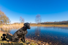 GOPR3578_20190120_122608 (KJvO) Tags: achterhoek dog flatcoatedretriever hond korenburgerveen pipa questionsflightoneinamillion water animal blackdogsrule dier dogadventures flatcoataddiction flatcoatedlovers flatcoatedretrieversofinstagram flattiemoments flattieoftheday freestyleretrievers instadogs retrieversofinsta ven
