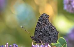 Nymphalis io (Torok_Bea) Tags: nymphalisio inachisio nappalipávaszem butterfly homegarden home bokeh papilion nikon nikond7200 natur nature nikond lepke pillangó sigma sigma105 sigma105mm sigmalens macro beautiful schmetterling mariposa