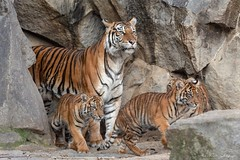 Die kleine Familie (Ria Trouw) Tags: tierparkberlin tierpark berlin tiger sumatratiger tierkinder tiere raubtiere raubkatzen