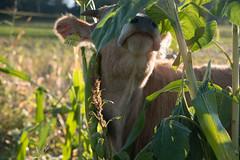Moow! (patrickhollenstein) Tags: cow cows kuh kühe tiere animal animals natur nature switzerland swiss light licht schweiz