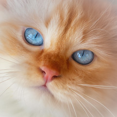 We are back ! (FocusPocus Photography) Tags: tofu dragon katze kater cat tier animal haustier pet blaueaugen blueeyes