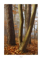 Fallen Leafs (Max Angelsburger) Tags: beech pine tree trunk brown fallen leaf soft morning light fog mist background carpet autumn colors golden leuchtend glowing badenwürttemberg herbst 2018 pocketworldiglandscapedreamspotsvisualheavenlandscapephotolandscapelovernatgeoadventureearthexperiencemthrworldmajesticearth