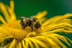 Hummel /bumblebee (Andi Fritzsch) Tags: macro macrophotography closeup closeupphotography bumblebee hummel insekten insect insectphotography flowers flower flowercolors flowerpower nature naturephotography