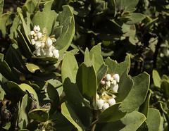 Blooming Manzanita, Mt Tam b40024n (Al Greening) Tags: california marin mttam flower manzanita
