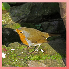 Our Feathered Friends. (GABOLY) Tags: robin garden kent england february 2019