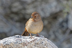 California Towhee (Alan Gutsell) Tags: california towhee californiatowhee sparrow emberizine songbird canon camera alan wildlife nature photo palmsprings desert desertbirds
