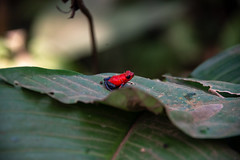 DSC_5716 (stacyjohnmack) Tags: bluejeansfrog costarica frog