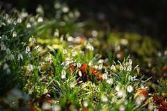 Snowdrops (Future-Echoes) Tags: 5star 2019 backlit bokeh depthoffield dof flowers hedinghamcastle light nature snowdrops white halstead england unitedkingdom gb