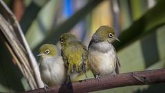Silvereye perch - Stop pushing! (njohn209) Tags: birds d500 nikon nz