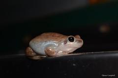 Desert Tree Frog (Litoria rubella). Glenmorgan, QLD (Jesse's Wildlife) Tags: herping froggingglenmorgan herpingglenmorgan frogging glenmorgan jesseswildlife jessecampbell cute amphibian frog litoriarubella deserttreefrog