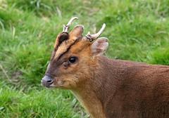 Ivory and Ears (billywhiz07) Tags: muntjac deer lea valley nature wildlife antlers ears