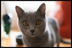 Ursus (6) (***RM***) Tags: kartouzská kočka cat cats animals portrait indoor nikon d850 nikkor 2470mm georglouisleclercdebuffon exotic mazlíček kočkadomácí chovatel feliscatus french francaise chartreux