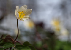Anemona (skloi) Tags: buschwindröschen anemonanemorosa frühling spring weiss white green flower blume wald forest