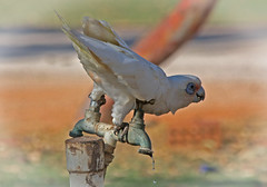 "Thirsty Little Corella (Uhlenhorst) Tags: 2011 australia australien animals tiere birds vögel travel reisen coth "" lovelymotherearth"" coth5"