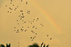 A revoada e o arco-íris (Márcia Valle) Tags: bahia caravelas brasil brazil nature natureza márciavalle nikon d5100 tropical verão summertime arcoíris rainbow periquitos periquitãomaracanã aves birds revoada maritacas flight