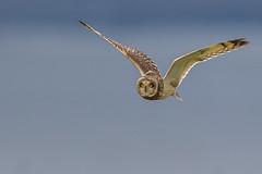 Short-eared Owl Hunting (Glenn.B) Tags: gloucestershire nature owl shortearedowl raptor birdofprey bird avian flight wildlife