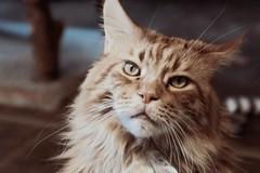 Smörre 🐾 ❤️ (unbunt.me) Tags: mainecoon cat katze