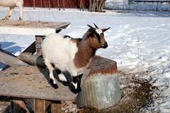 goat (massdistraction) Tags: goats goatfarm stpatricksday party saunaparty march snow winter outside friends fun goat farm farmparty sauna rural country