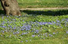 Blaustern / squill (scilla) (HEN-Magonza) Tags: botanischergartenmainz mainzbotanicalgardens frühling spring flora rheinlandpfalz rhinelandpalatinate deutschland germany natur nature blaustern quill scilla