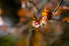 Blossom...ing (tonguedevil) Tags: outdoor outside countryside spring nature trees flowers blossom leaves colour light sunlight shadows