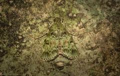 Stericta chlorophoena (dustaway) Tags: insecta lepidoptera pyralidae epipaschiinae sterictachlorophoena australianmoths australianwildlife tamborinemountain mounttamborine sequeensland queensland australia