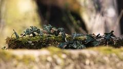 Efeu auf Moos (Chridage) Tags: efeu moos ivy moss