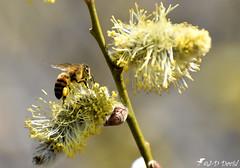 Abeille_19 (Jean-Daniel David) Tags: insecte insectevolant nature bokeh réservenaturelle bourgeon abeille butineuse closeup grosplan macro faune flore buisson branche arbre forêt yverdonlesbains suisse suisseromande vaud nikon nikond5600 afpnikkor70300mm14563ged