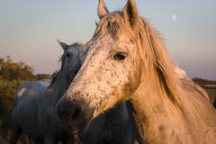 Les chevaux de Camargue. (Piccolomina) Tags: cheval camargue