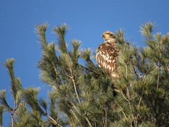 Immature Bald Eagle On Top Of A Pine (amyboemig) Tags: bald eagles pine tree turnersfalls ma winter march morning sunlight immature