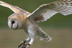 IMG_1428 (Stefan Kusinski) Tags: hemsley duncombe ncbp birdofprey