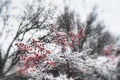 Soft Focus Snow Berries (Peeb OK) Tags: snow berry berries weather white nikon nature
