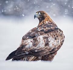 Golden Eagle, Kungsörnen (davidshred) Tags: golden eagle