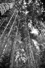 Tall Stand Of Aspens in Glacier Peak Wilderness (Black & White, North Cascades National Park Service Complex) (thor_mark ) Tags: agnesgorgetrail aspen aspengrove azimuth278 blackwhite bluesskieswithclouds capturenx2edited colorefexpro day5 glacierpeakwilderness hiketoagnesgorge landscape lookingup lookingwest lookingupatsky lookingupatskythroughtrees lookingupatskythrutrees lookinguptosky nature nikond800e northcascadesnationalparkcomplex northcascadesnationalparkservicecomplex okanoganwenatcheenationalforest outside partlycloudy populustremuloides portfolio project365 quakingaspen sunny talltrees talltreesallaround trees triptonorthcascadesandwashington wenatcheenationalforest washington unitedstates