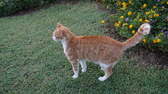2015-09-20_18-10-47_ILCE-6000_DSC00281 (Miguel Discart (Photos Vrac)) Tags: 2015 34mm animal animalphotography animals animalsupclose animaux cat cats chat chats colakli e1670mmf4zaoss focallength34mm focallengthin35mmformat34mm holiday hotel ilce6000 iso250 kamelya kamelyaworld nature naturephotography pet sony sonyilce6000 sonyilce6000e1670mmf4zaoss summer turkey turquie vacance vacation