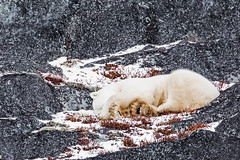 Sleepy. Churchill, Manitoba. (j1985w) Tags: bear polarbear rocks snow weeds sleeping churchill manitoba canada