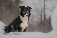 Winther (Flemming Andersen) Tags: nature dog bordercollie outdoor yatzy winther snow animal tvrdošín žilinaregion slovakia sk