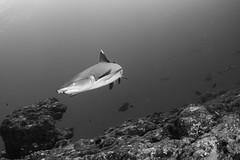 Whitetip reef shark patrolling the reefs of the North Male Atoll (Mgungen) Tags: bw whitetipreefshark reef ocean coralreef shark maldives northmaleatoll subal subalunderwaterhousing inon inonz240 nikon nikond7100 tokina tokina1017mm wideangle underwaterphotography uwphotography scuba scubadiving diving