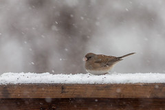 within the flakes (jimmy_racoon) Tags: canon 400mm f56l 5d mk2 darkeyed f56lcanon wildlife birds flakes flurries nature snow winter junko f56