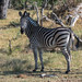 Steppenzebra / Plains Zebra