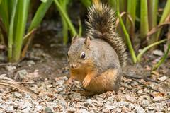 Douglas Squirrel 501_0343.jpg (Mobile Lynn) Tags: douglassquirrel rodents squirrel nature fauna mammal mammals rodent rodentia wildlife vancouver britishcolumbia canada ca